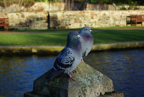 20120102-19_Coombe Abbey_Pigeons by gary.hadden
