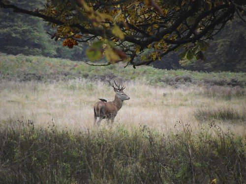 Young male stag - Richmond Park