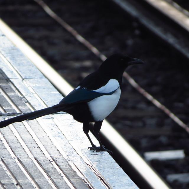 Magpie on the edge