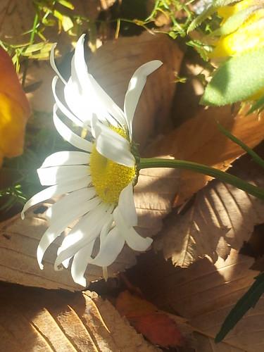November Daisy