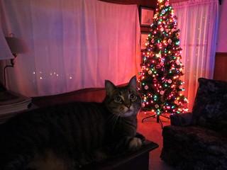 Christmas Tree Olive