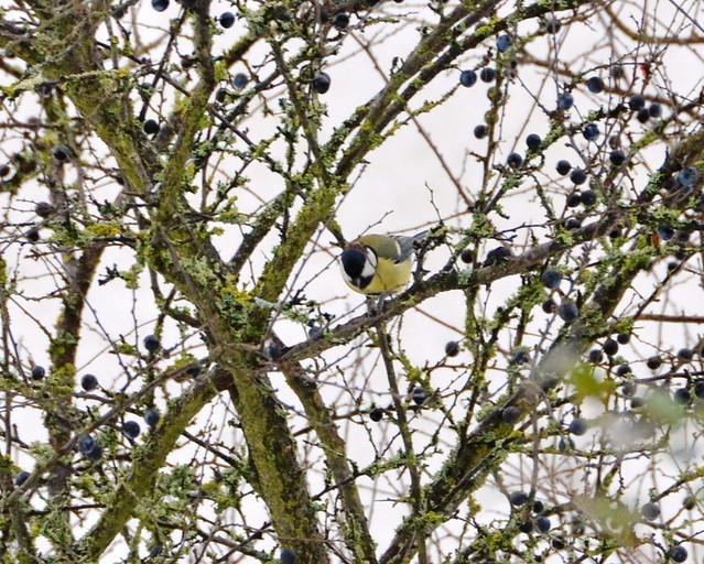 Blue Tit in a tree