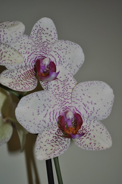 2012-11-18 Orchid 04