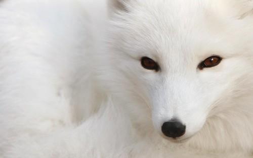 vulpe-alba-iarna-pe-zapada by cristinutza's fotos
