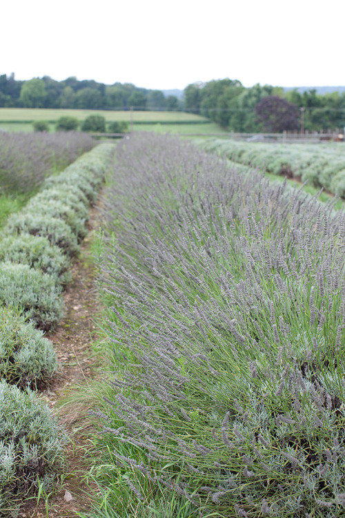 Lavender Farm 9