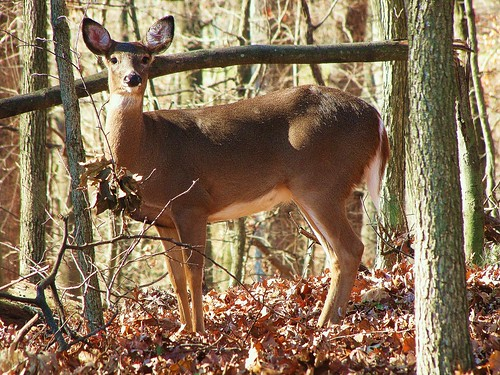 White tail deer - 2 by CharlesRay2010
