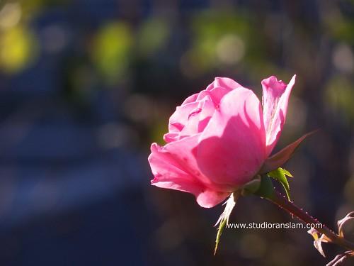 Autumns Last Rose
