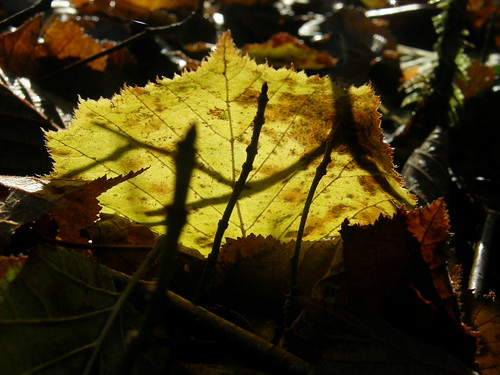Back-lit leaf II