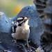 Timor the Downy Woodpecker