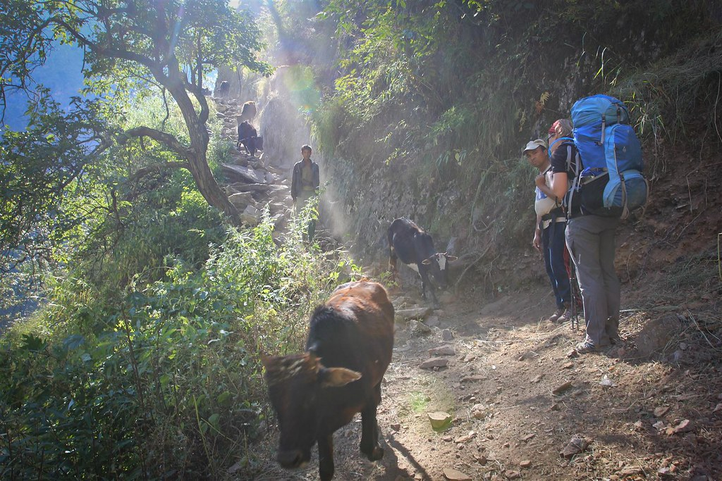 A farmer with his cattle herd on the small trails along the Humla Karnali river, Humla, Nepal