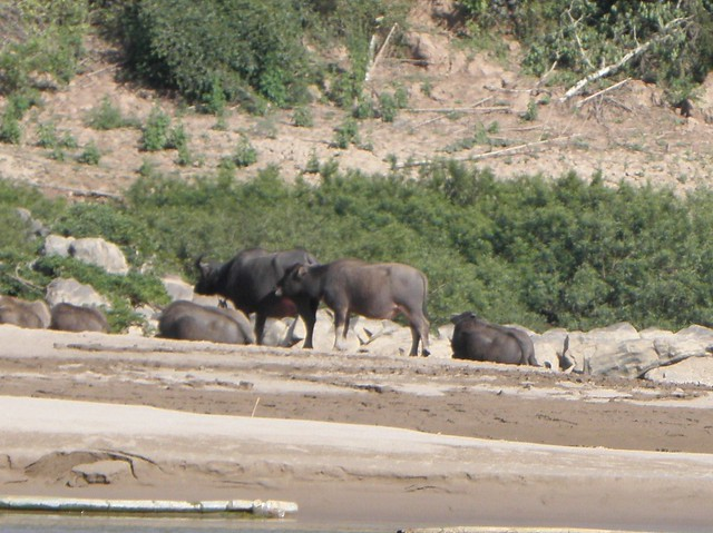 Water buffalo by the Mekong in Northern Laos