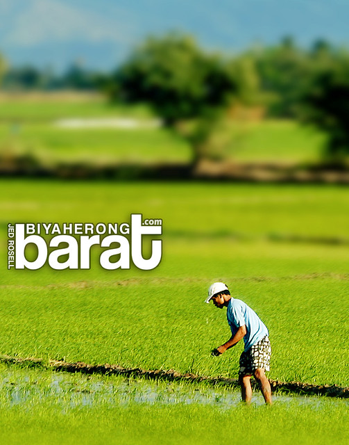 farmer in Nueva Vizcaya rice fields