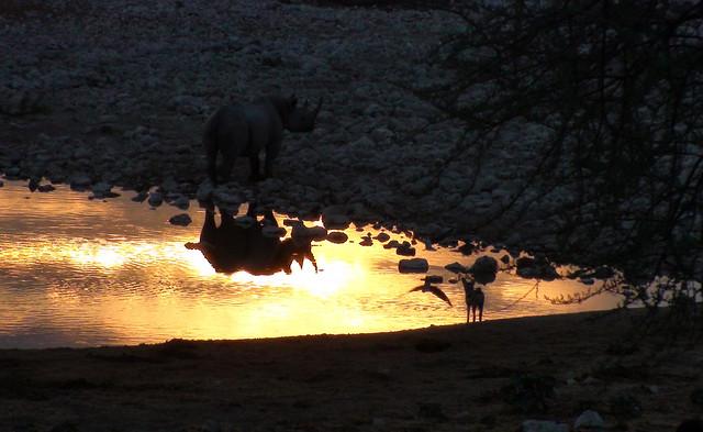 Rhinoceros Reflection