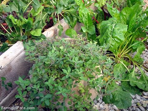Greek oregano growing in the unheated greenhouse on 11-13-12