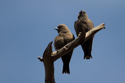 Dusky Woodswallow 2012-12-15 (_MG_8163)