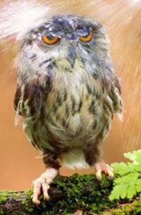 Moist Owlet