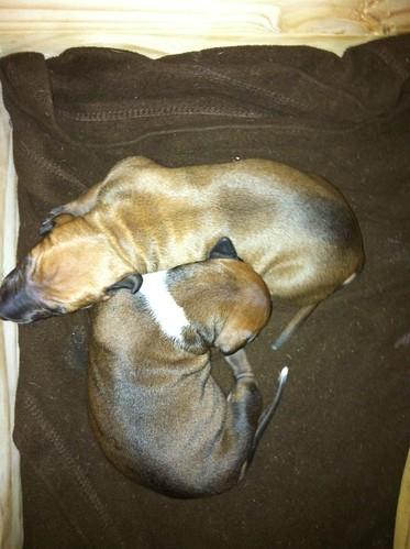 Mini puppy pile