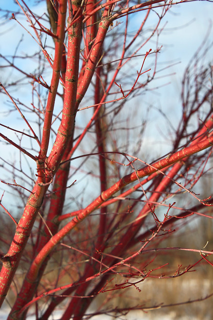 Red Tree Branches  Flickr  Photo Sharing