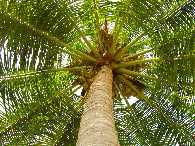 coconut_tree_by_asramnath