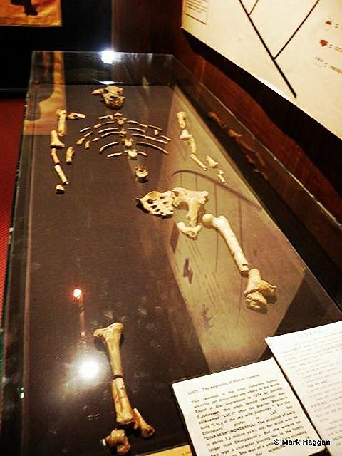 The Skeleton of Lucy, or AL 288-1, the Australopithecus afarensis