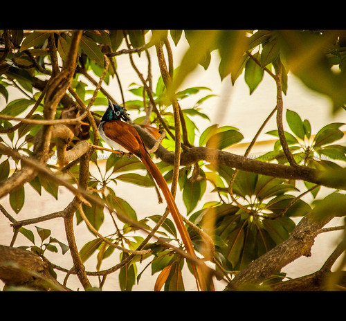 Asian Paradise Flycatcher - Terpsiphone paradisi by Rajanna @ Rajanna Photography