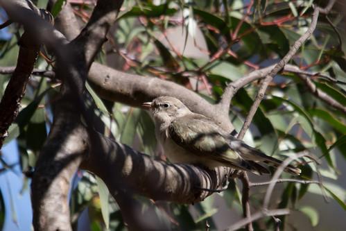 Horsfield's Bronze-cuckoo 2012-12-18 (_MG_8282)