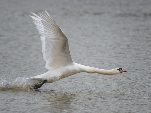 Mute-Swan_Xmas-day