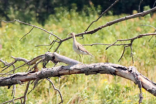 Upland Sandpiper, Great Swamp N.W.R., Aug. 13, 2012, Photo by Jim Mulvey