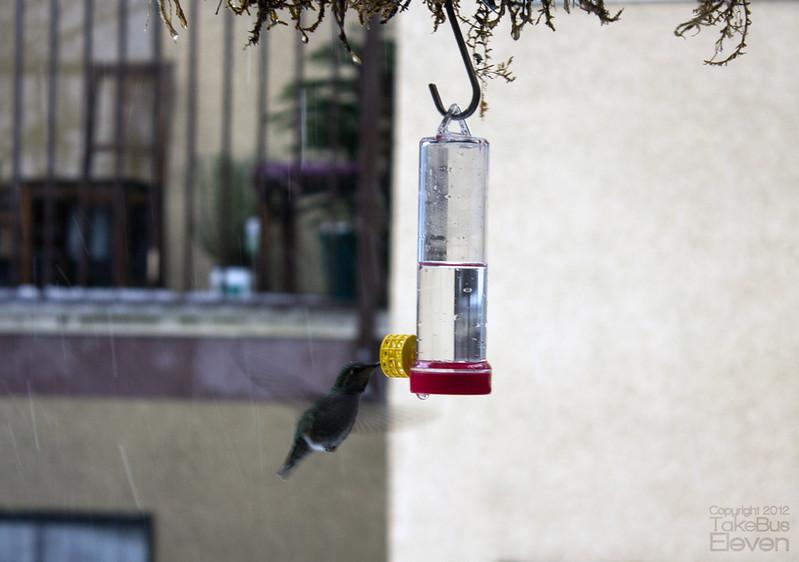 hummingbird2_flickr