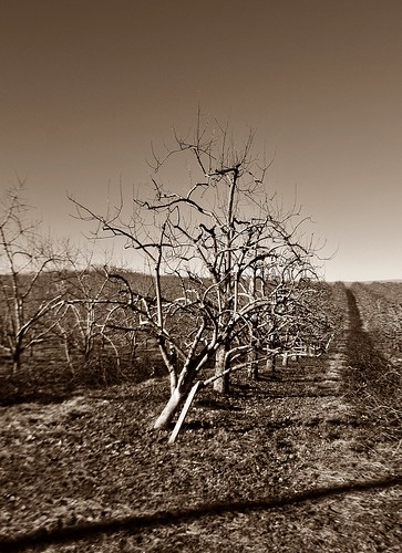Bare Winter Orchard by dogfrog