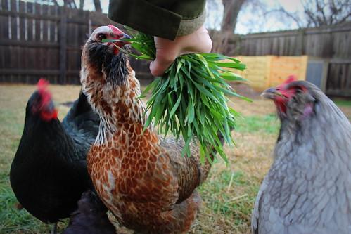 20130111. The chickens get some winter rye. Winter rye = chicken crack.