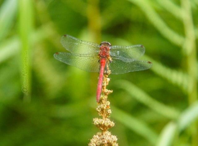 dragonfly 0010 Harriman park, NY, USA