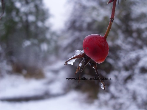 Snow Kissed Rose Hip