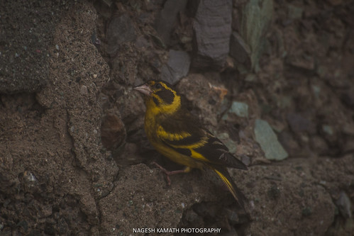 Yellow-breasted Green Finch