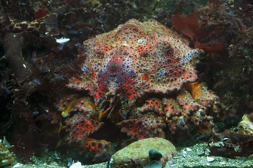 Adult Puget Sound King Crab