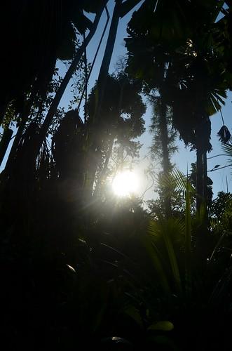 Licuala rainforest  57