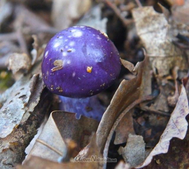 mushroom 0003 Harriman park, NY, USA