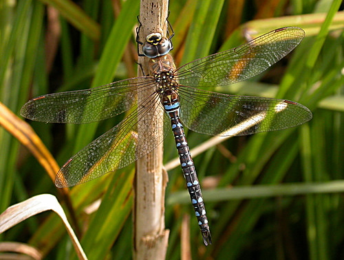 Migrant Hawker Aeshna mixta