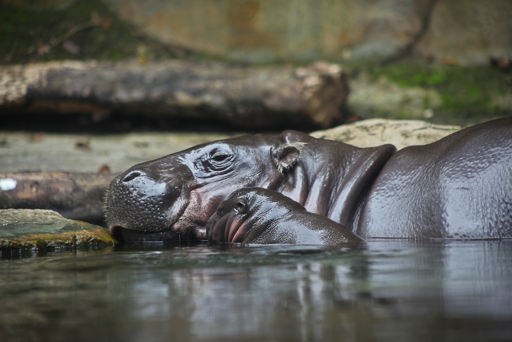 Momma and Baby Hippo
