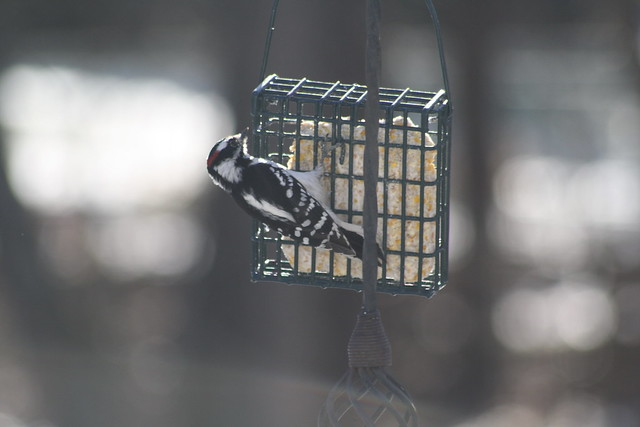 downy woodpecker 1