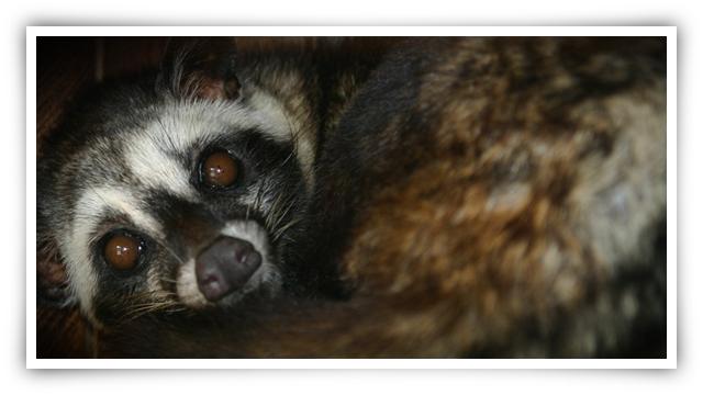 Kopi Luwak ( Luwak Cofee ) Luwak Kopi