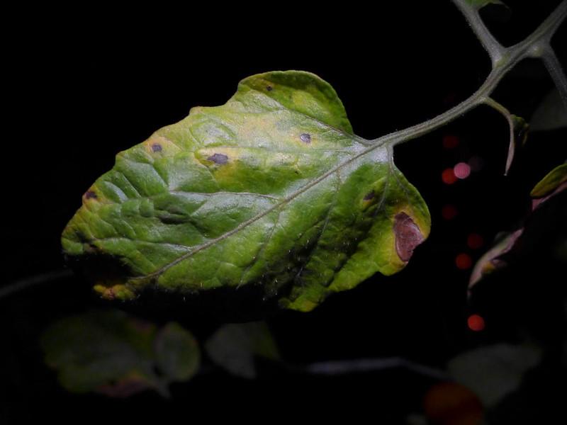 花花世界 - 生活花卉園藝論壇 - 求助 番茄疫病