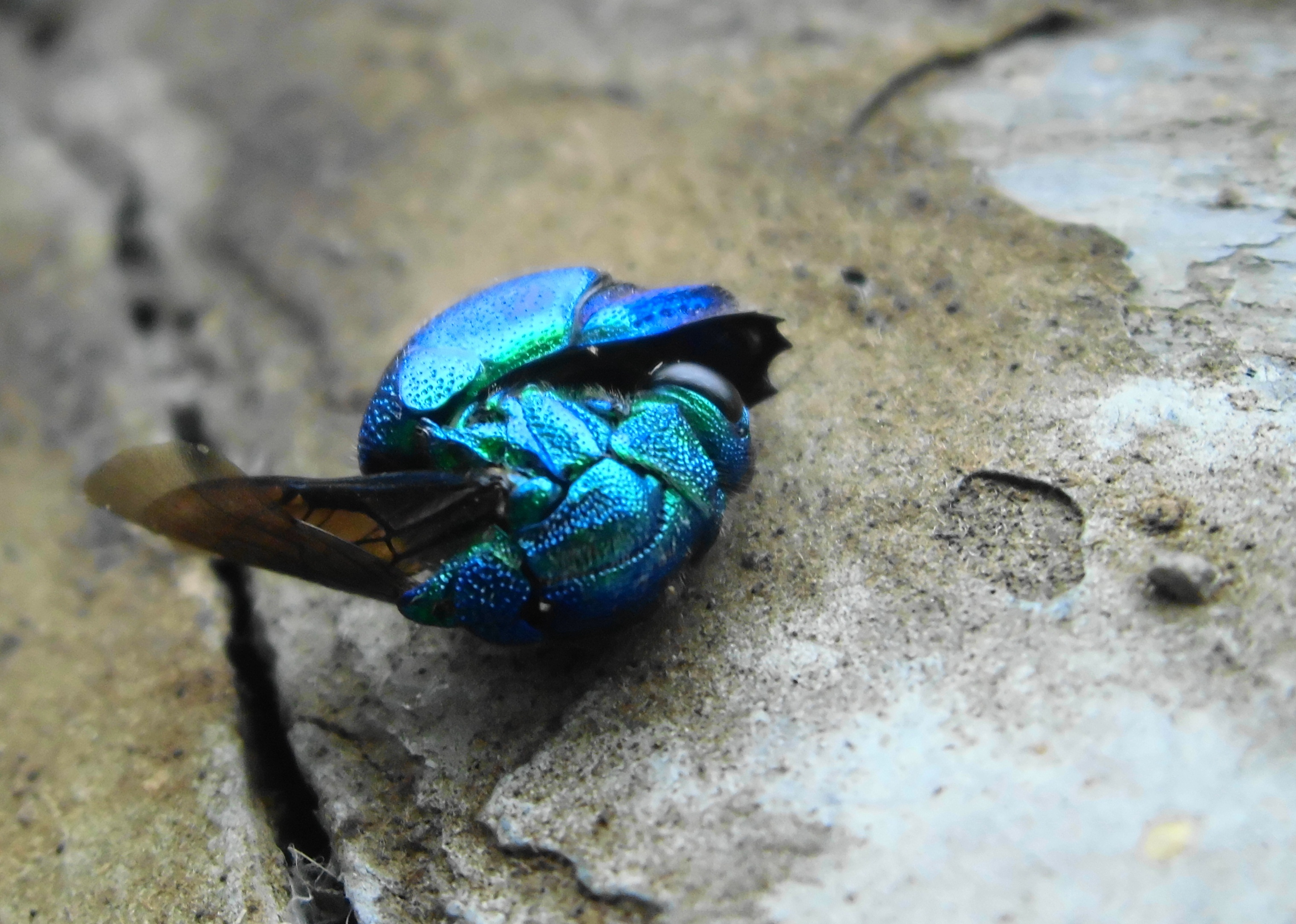 Cuckoo wasp curled up