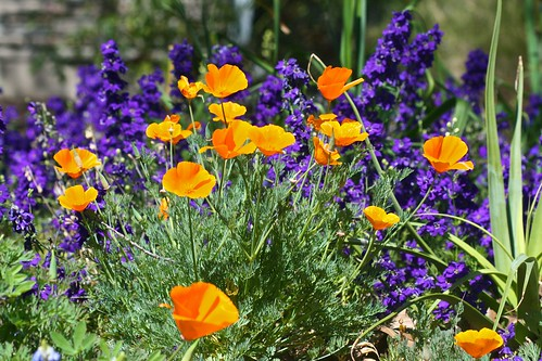 California Poppies and Larkspur