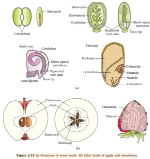 NCERT Class XII Biology Chapter 2 : Sexual Reproduction in