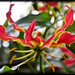 flame lilly