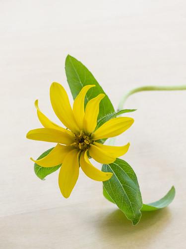 kleine Sonnenblume