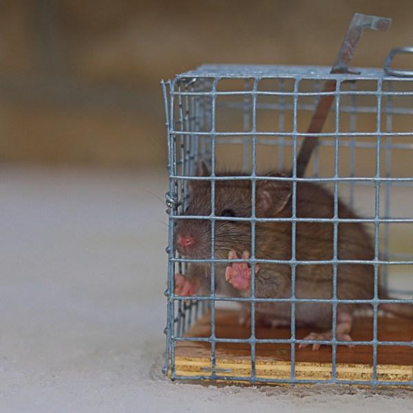 Rat - Rattus rattus mangeur de maïs, génocideurs de cucurbitacés et autres légumineux