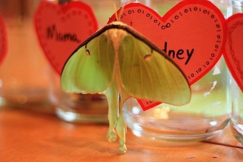 valentine moth 3