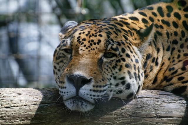Photo:Jaguar By:rwoan